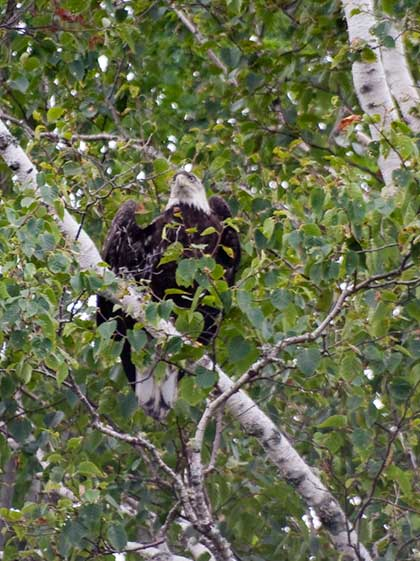 Young Eagle in tree