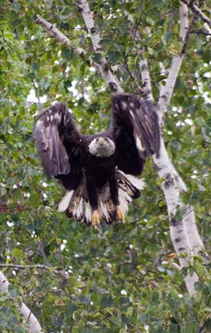 Eagle in Acadia National Park