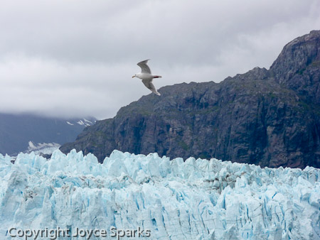 Sea gull flying past glacier in Glacier Bay National Park