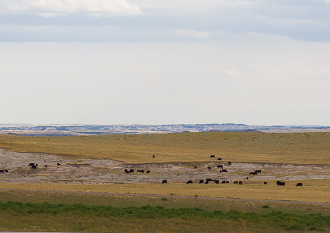 Landscape leading to Badlands with cattle