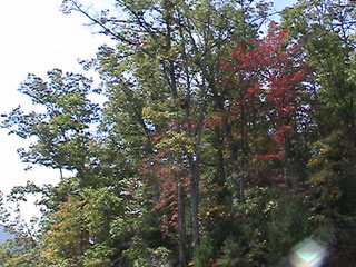 Tree leaves just starting to turn to red