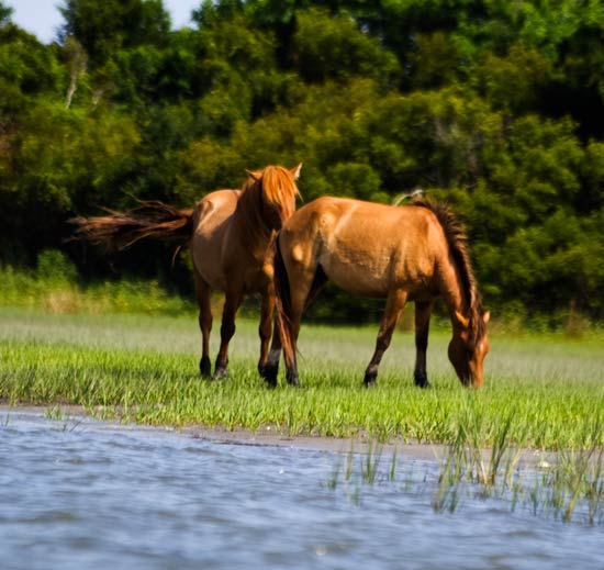 Two horses on Carrot Island