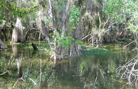 View of Big Cypress Swamp