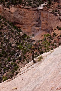 Lone tree on side of cliff in Colorado National Monument