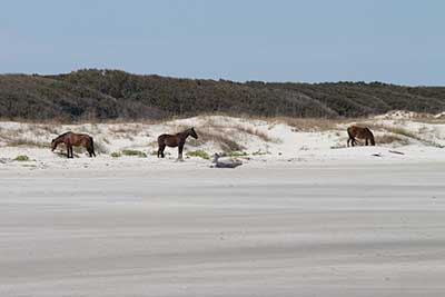 Horses on beach at Cumberland National Seashore