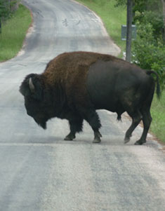 Single buffalo crossing road