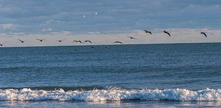 Pelicans and gulls over surf