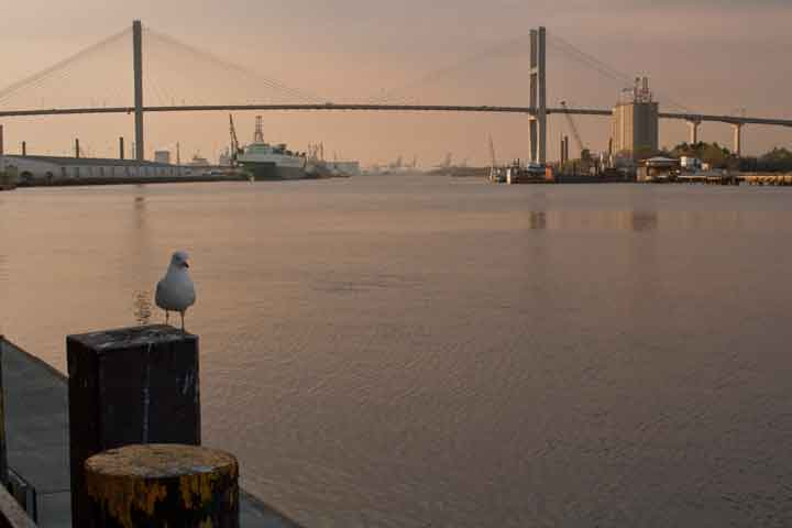 Sea Gull with bridge in background Savannah, GA