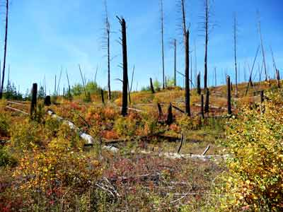 Evidence of 1988 fire in Glacier Park