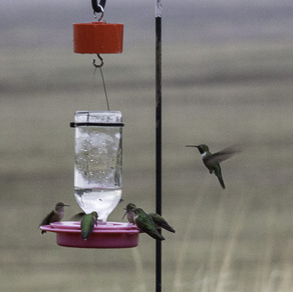 Hummingbirds at feeder Great Sand Dunes National Park