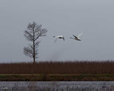 pair of flying tundra swans
