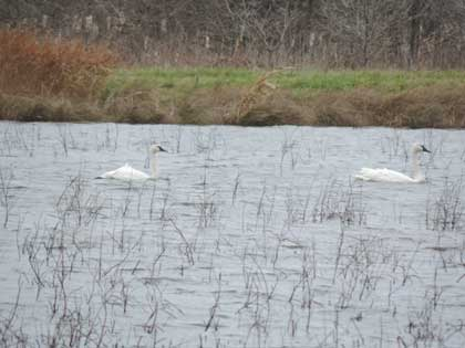Pair of Tundra Swans paddling