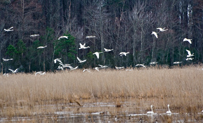 tundra swans at Lake Mattamuskeet NC 2007
