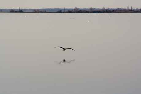 Bird flying over Lake Mattamuskeet