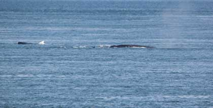 Whales off East Quoddy Lighthouse