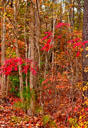 Red leaves in Medoc Mountain State Park NC