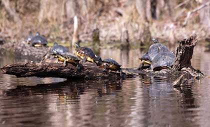 Turtles sunning at Merchant's Millpond, NC