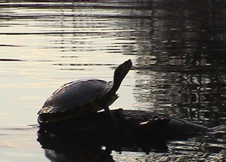 Turtle at Merchant's Millpond