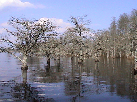 Several trees in Lake Mattamuskeet