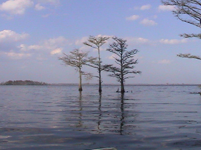 Three trees in Lake Mattamuskeet