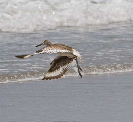 Bird taking off from beach