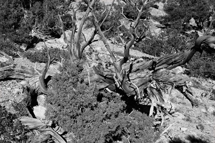 Black and White Tree in Red Canyon