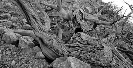 Black and white of dead tree in Red Canyon
