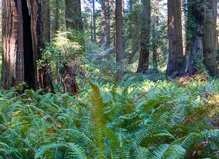 Ferns and trees in Redwood National Park