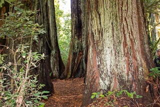 Trees in Redwood National Park