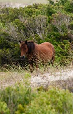 One wild horse walking through brush
