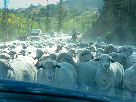 Sheep surrounding our minivan