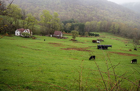 Farm near Todd NC with Cows