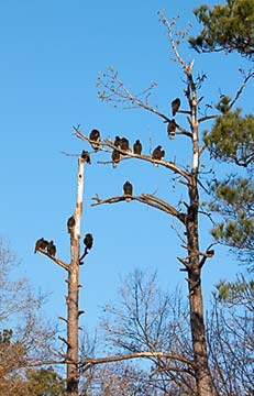 Sixteen turkey vultures in tree