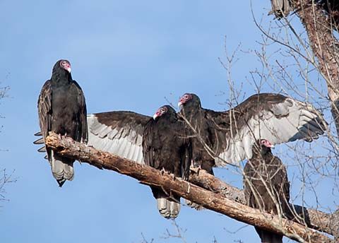 Turkey vultures with wings spread
